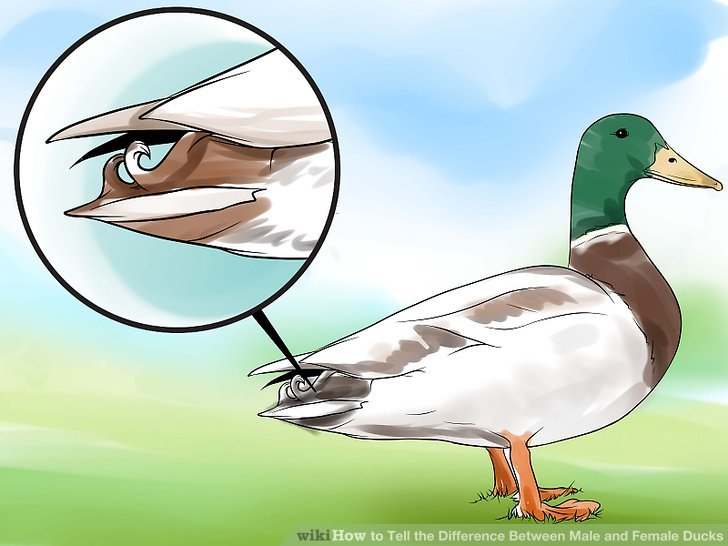 Muscovy ducks how to tell male from female